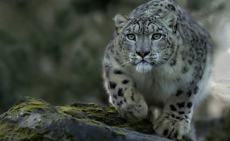 Snow leopard Altai mountain Mongolia