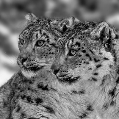 Two_snow_leopards-mongolia-tour