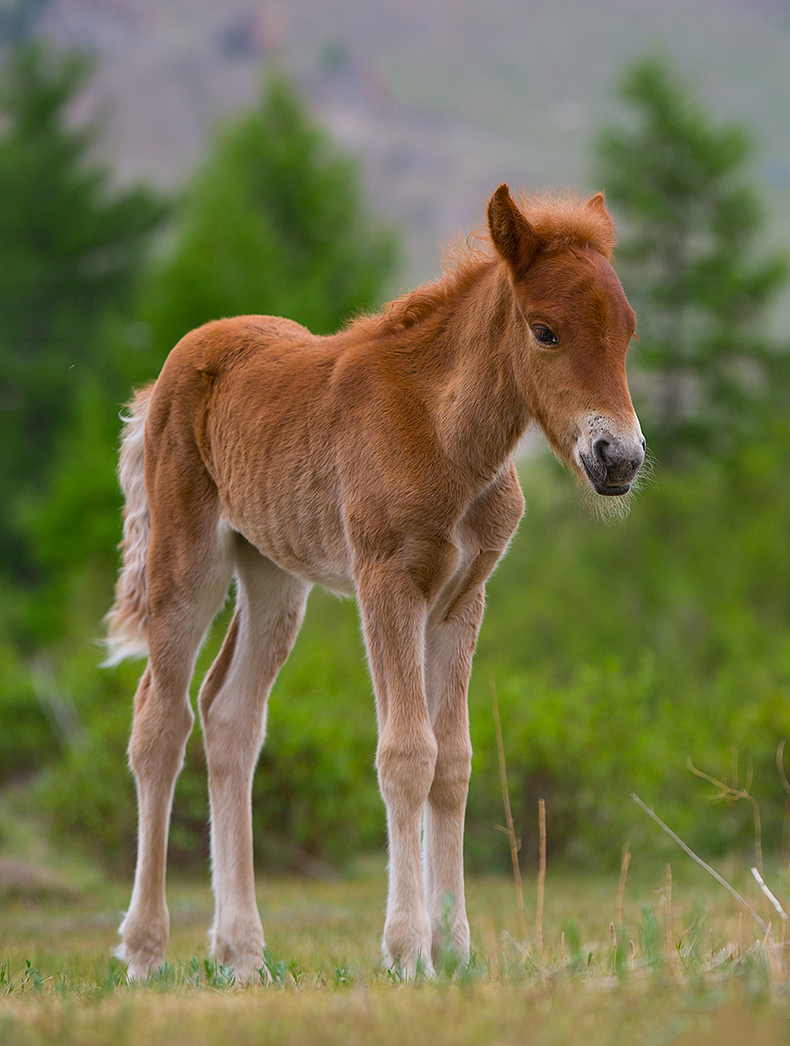 Photos Of Cute Mongolian Foals That You Will Love Instantly