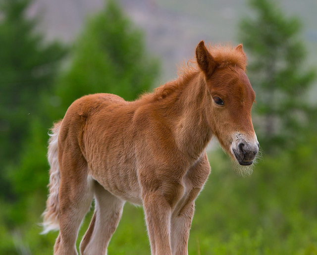 photos_mongolian_foals_you_will_love