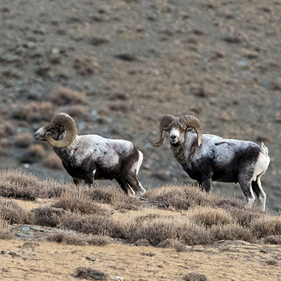 wildlife-photo-tour-mongolia-argali-sheep